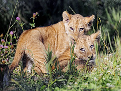 Two lion cubs together