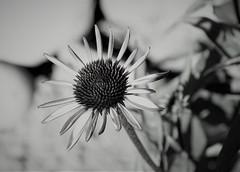 Echinacea B & W