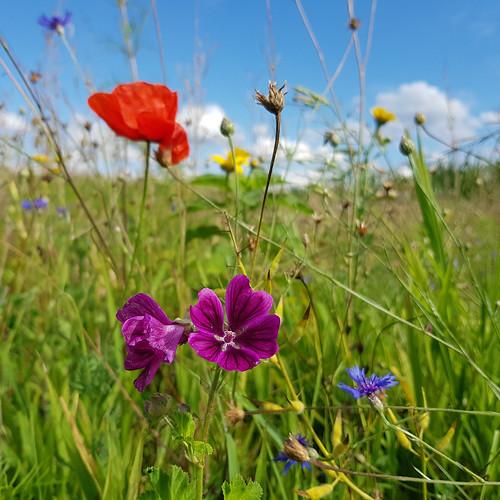 High summer wildflower meadow