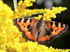 Nettle butterfly