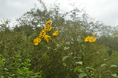 Žuto cvijeće (137FJAKA_4363)