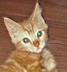 Eyeshine in Felis catus (domestic cat) 1