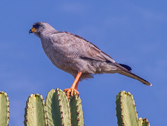 Eastern Chanting Goshawk, Tsavo West, Kenya