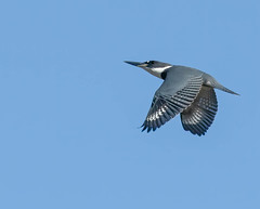 Then the kingfisher flew overhead...I had to wait till he got on the right side of the creek away from the bright sun.