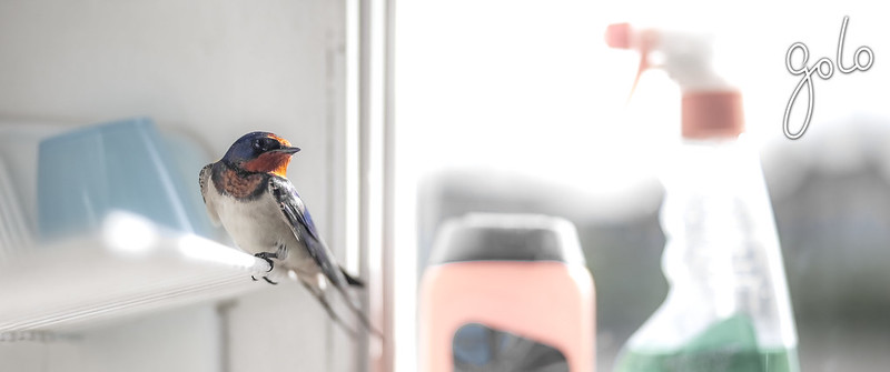 Golo » Swallow