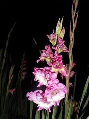 FLASHed - Gladiolus 25