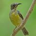 Brown-throated Sunbird (Anthreptes malacensis) 褐喉食蜜鸟