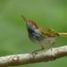 Dark-necked Tailorbird (Orthotomus atrogularis) 黑喉缝叶莺