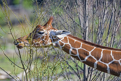 Profile of a giraffe eating