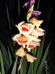 FLASHed - Gladiolus 23