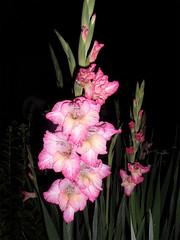 FLASHed - Gladiolus 24