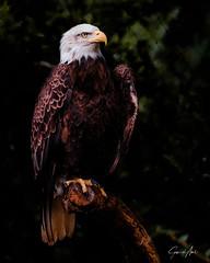 Bald eagle doesn't really need posing tips!