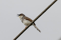 A Grey Breasted Prinia on a wire