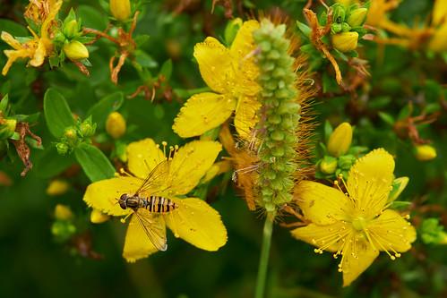 Blumen mit Große Schwebfliege