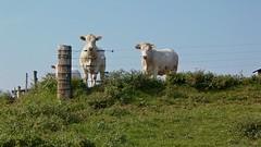 Cows on a farm in Stuarts Draft