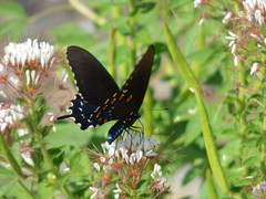 Pipevine Swallowtail, near the Glover River, McCurtain County, Oklahoma, August 22, 2020