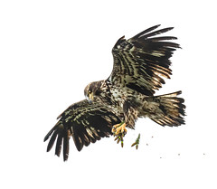 juvenile eagle practicing her skills, fish, pine cones, all good fun.