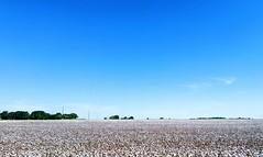 Cotton field near Coupland, Tx
