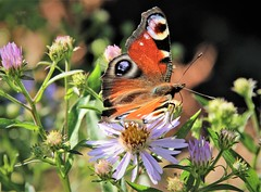 Maiden butterfly on the flower