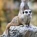Black-tailed prairie dog, Cynomys ludovicianus, Taipei Zoo, Taipei, Taiwan, 黑尾草原犬鼠, 黑尾土撥鼠, 臺北市立動物園, 台北, 台灣