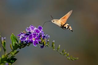Hummingbird Hawk-Moth - Macroglossum stellatarum