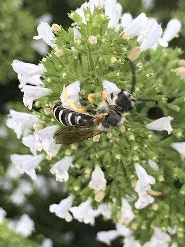Hautflügler (unbestimmt) (Hymenoptera indet.) (4)