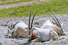 Three Scimitar oryxes lying down
