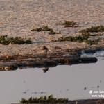 Aves en la laguna larga de Villacañas 26-8-2020