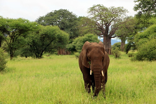 Elephant On The Plains Of Africa