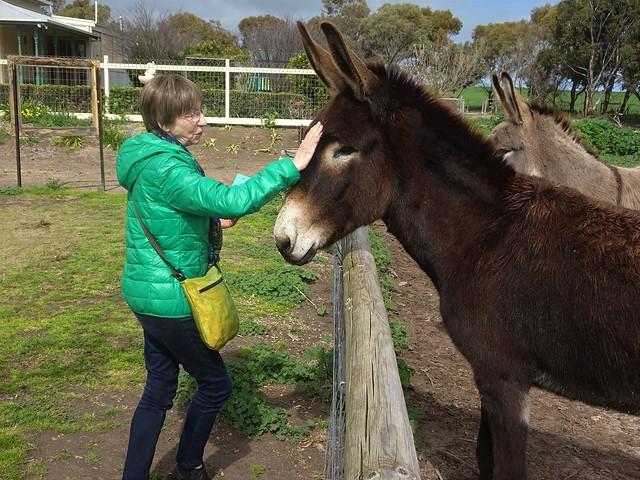 Photo:Weetulta Yorke Peninsula. Donkeys at Redwing Farm. By denisbin