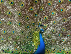 Just another peacock photo