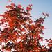 Acer Maple - © Paul Louis Archer