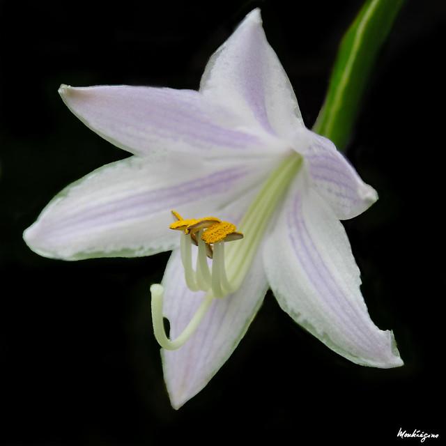 Photo:Hosta flower - Fleur d' Hosta By monteregina