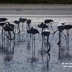 Flamencos en la laguna larga de Villacañas (Toledo) 30-8-2020