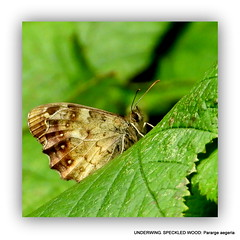 Pararge aegeria: Speckled wood