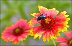 Huge Blue Fly