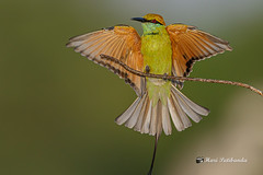 A Green Bee Eater Getting Back to its Perch