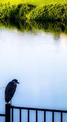 Egretta ardesiaca
