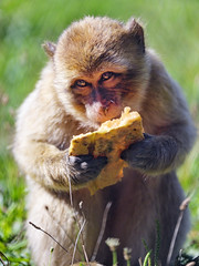 Young Barbary macaque eating melon