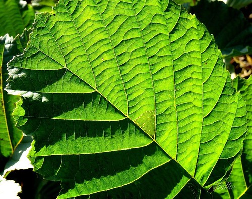 Macro of a hazel leaf ........ Those who are afraid of leaves better do not go to the forest !!