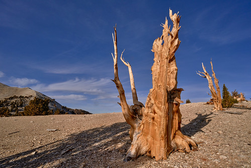 The Oldest Living Creatures in the World - Ancient Bristlecone Pines