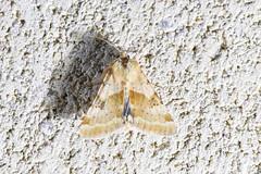 Darker-spotted Straw Moth