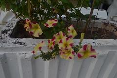 Cvijeće (137FJAKA_4393)