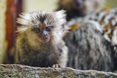 Adorable young marmoset
