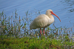 White Ibis ( Eudocimus albus) Searching for Food, Retention Pond, Safety Harbor (1 of 2)