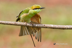 A Green Bee Eater Stretching its wings
