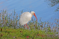 White Ibis ( Eudocimus albus) Searching for Food, Retention Pond, Safety Harbor (2 of 2)
