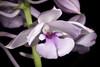 Photo:Calanthe masuca '#200601' (D.Don) Lindl., Gen. Sp. Orchid. Pl.: 249 (1833) By sunoochi