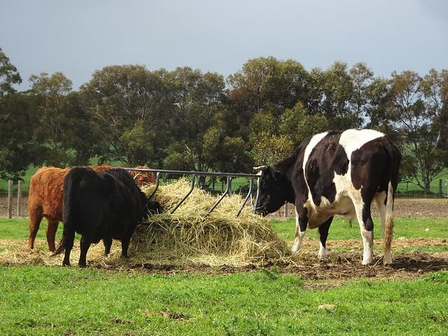 Photo:Weetulta Yorke Peninsula. Cattle at Redwing Farm. By denisbin