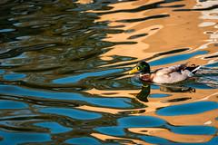 Bird and Water 7 - Cameleon Duck